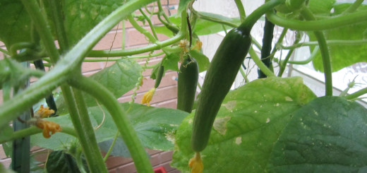 Young cucumbers from my patio