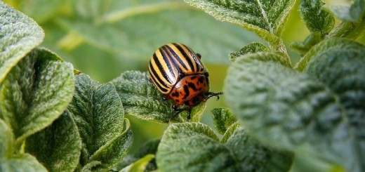 colorado-potato-beetle-pest-beetle-potato-40716